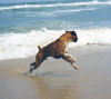 <h5>'Basil'  Gr Ch Sjecoin The All American  having great fun in the  surf.